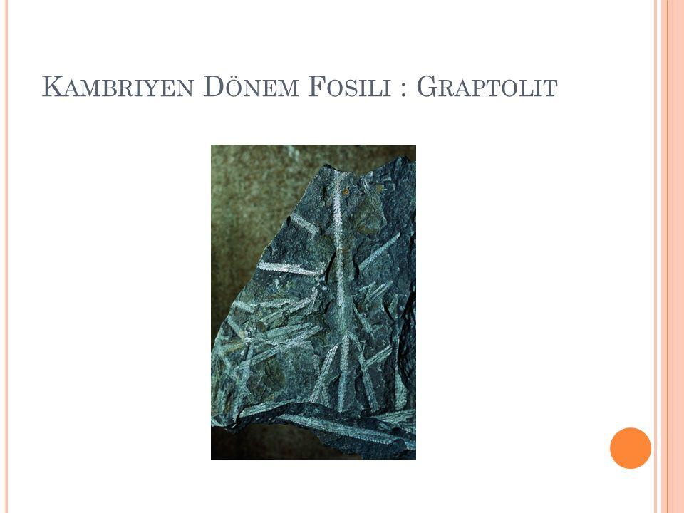Kambriyen Dönem Fosili : Graptolit
