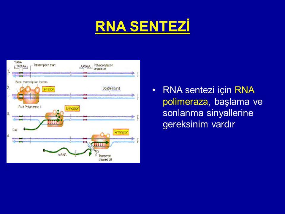 RNA SENTEZİ RNA sentezi için RNA polimeraza, başlama ve sonlanma sinyallerine gereksinim vardır