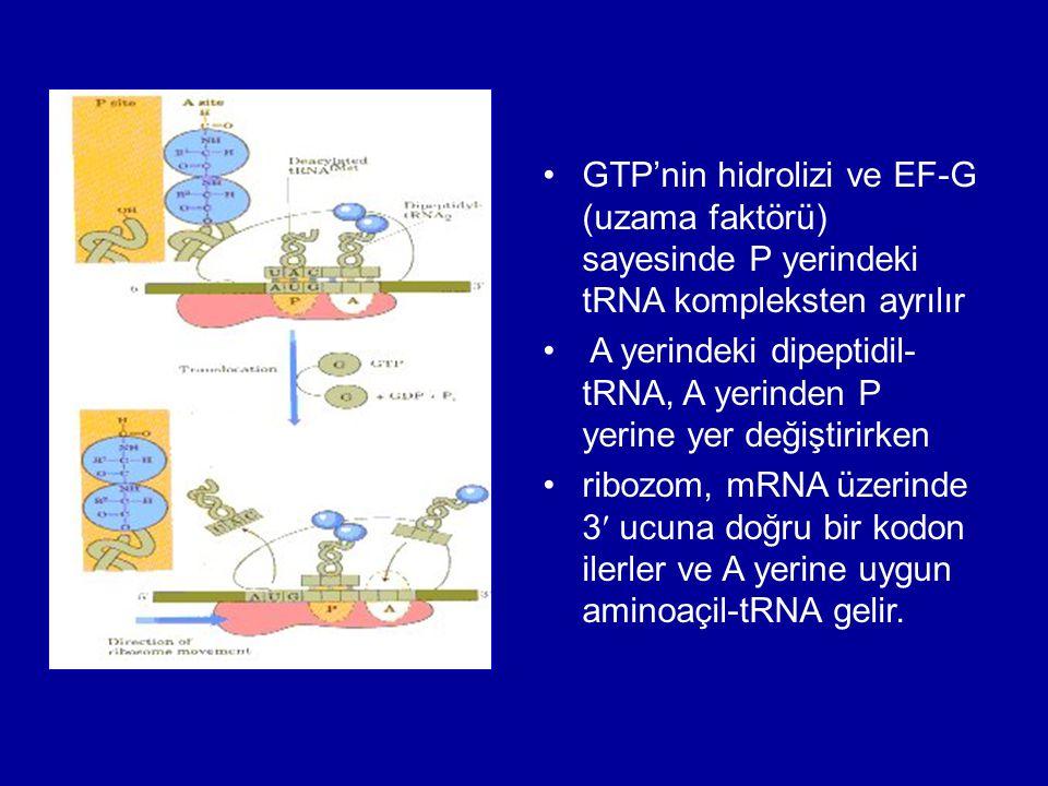 GTP'nin hidrolizi ve EF-G (uzama faktörü) sayesinde P yerindeki tRNA kompleksten ayrılır