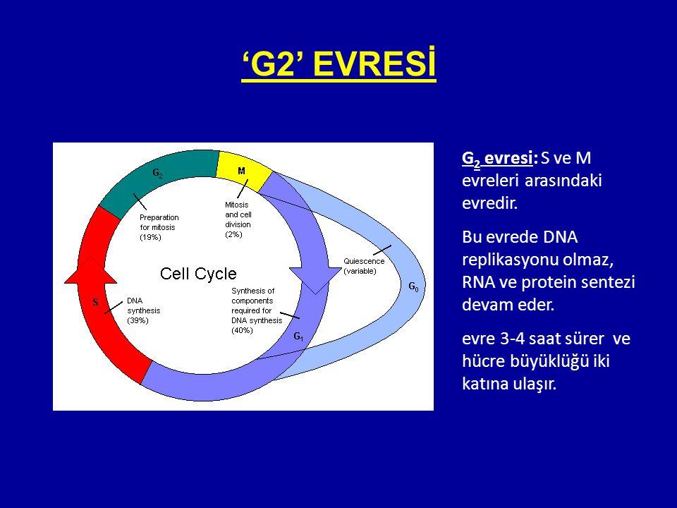 'G2' EVRESİ G2 evresi: S ve M evreleri arasındaki evredir.
