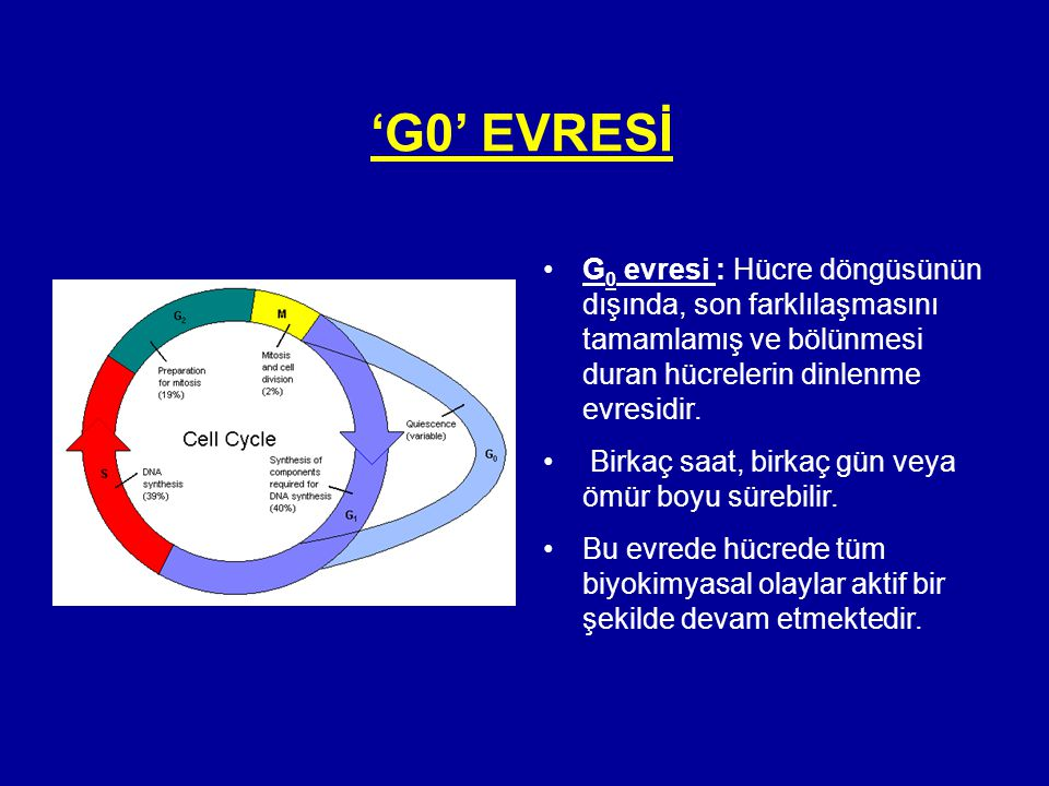 'G0' EVRESİ G0 evresi : Hücre döngüsünün dışında, son farklılaşmasını tamamlamış ve bölünmesi duran hücrelerin dinlenme evresidir.