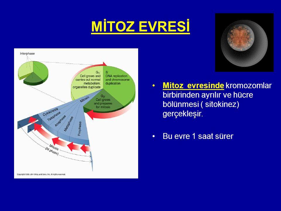 MİTOZ EVRESİ Mitoz evresinde kromozomlar birbirinden ayrılır ve hücre bölünmesi ( sitokinez) gerçekleşir.