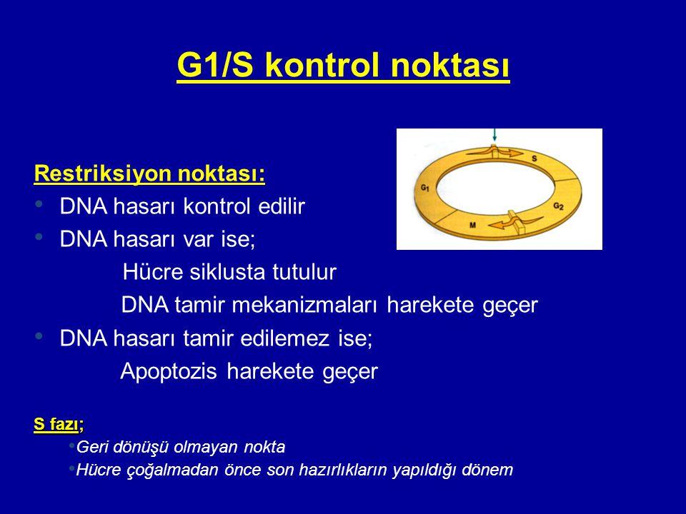 G1/S kontrol noktası Restriksiyon noktası: DNA hasarı kontrol edilir