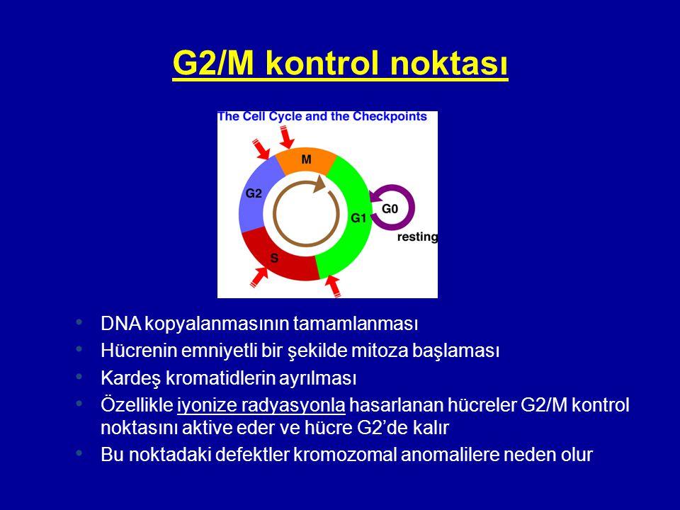 G2/M kontrol noktası DNA kopyalanmasının tamamlanması