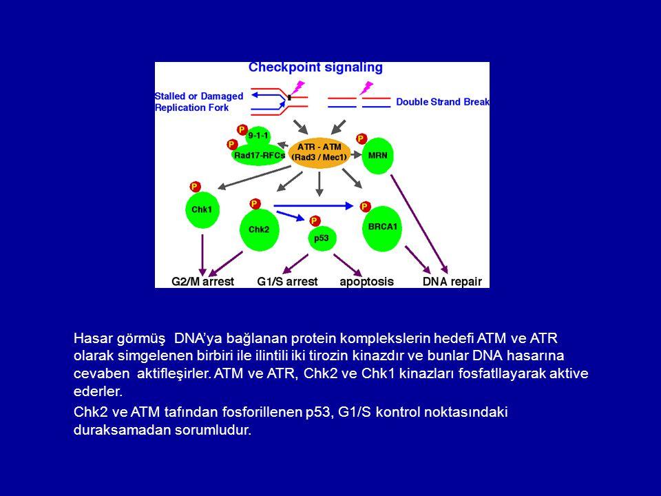 Hasar görmüş DNA'ya bağlanan protein komplekslerin hedefi ATM ve ATR olarak simgelenen birbiri ile ilintili iki tirozin kinazdır ve bunlar DNA hasarına cevaben aktifleşirler. ATM ve ATR, Chk2 ve Chk1 kinazları fosfatllayarak aktive ederler.