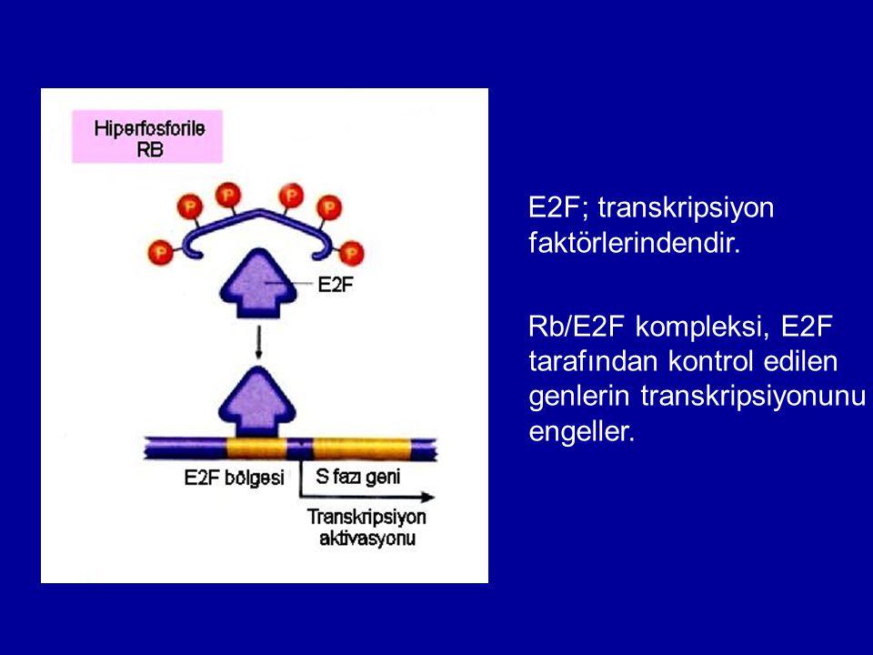 E2F; transkripsiyon faktörlerindendir