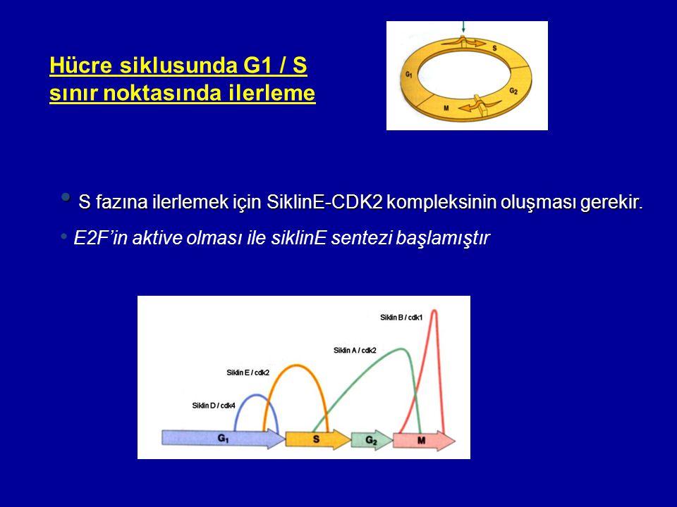 S fazına ilerlemek için SiklinE-CDK2 kompleksinin oluşması gerekir.