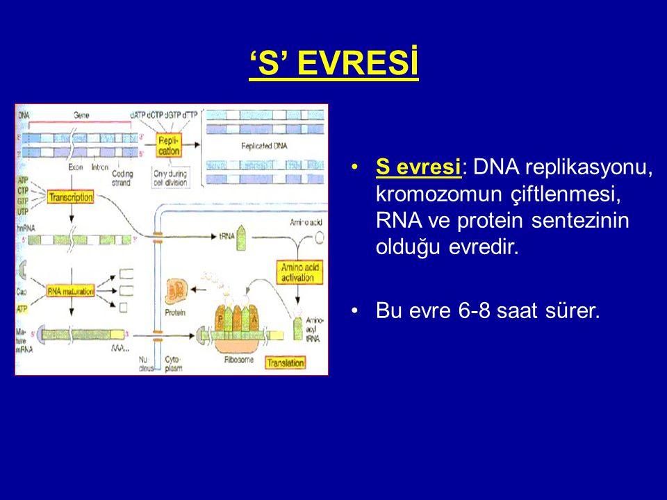 'S' EVRESİ S evresi: DNA replikasyonu, kromozomun çiftlenmesi, RNA ve protein sentezinin olduğu evredir.