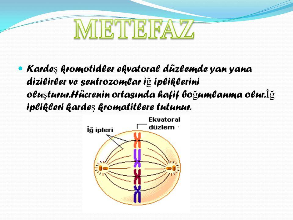 METEFAZ
