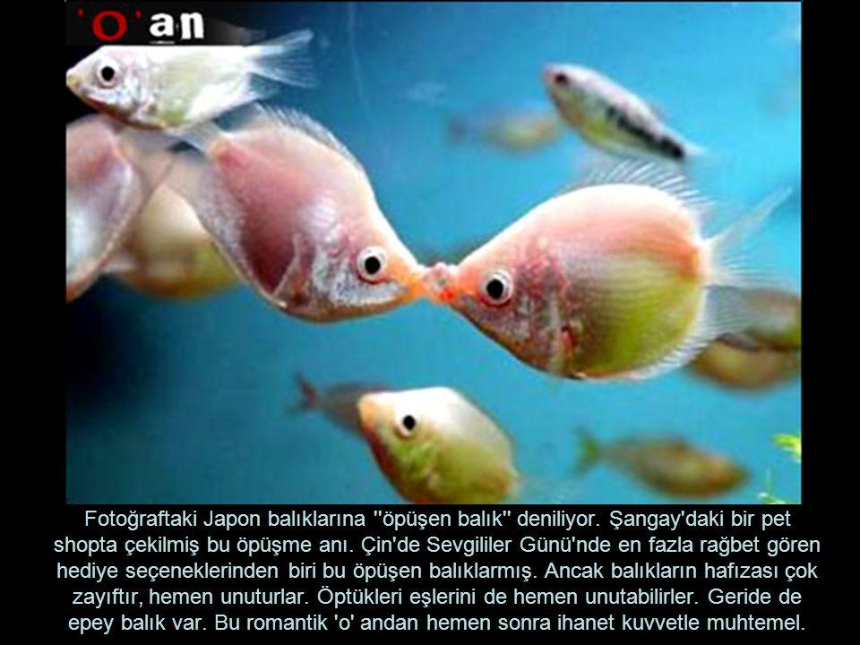 Fotoğraftaki Japon balıklarına öpüşen balık deniliyor