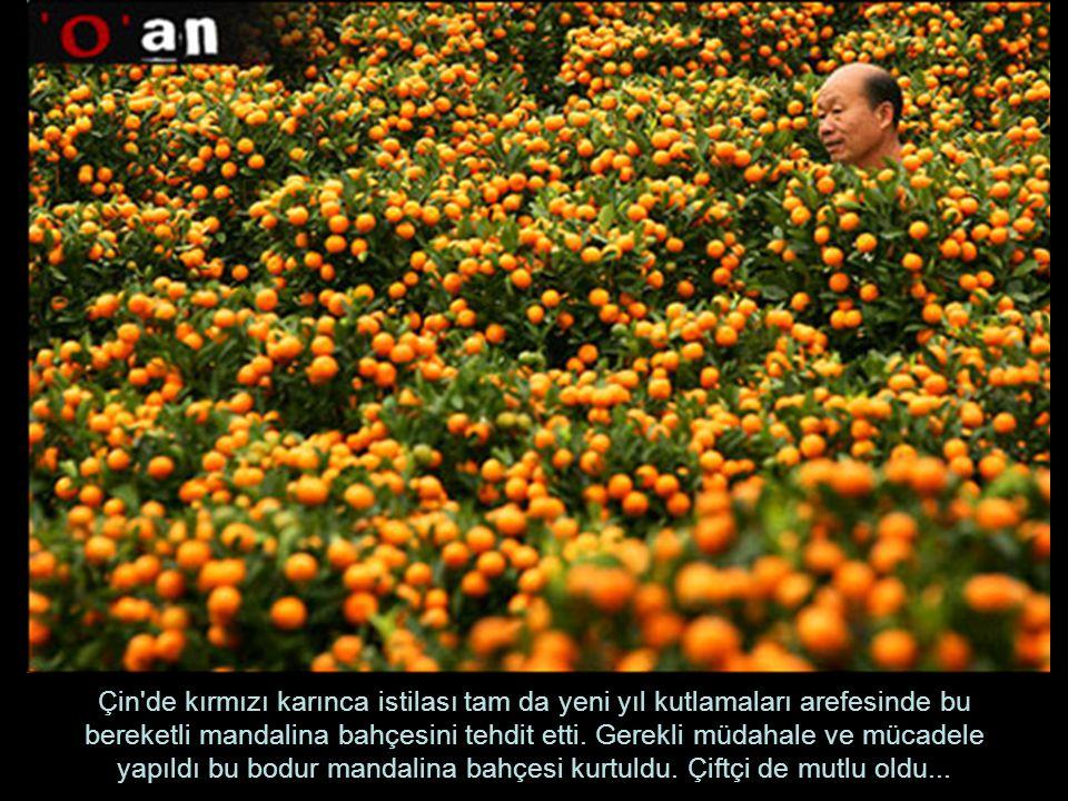Çin de kırmızı karınca istilası tam da yeni yıl kutlamaları arefesinde bu bereketli mandalina bahçesini tehdit etti.