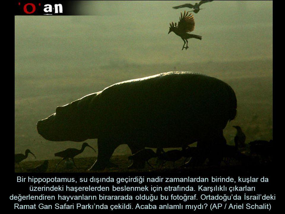 Bir hippopotamus, su dışında geçirdiği nadir zamanlardan birinde, kuşlar da üzerindeki haşerelerden beslenmek için etrafında.