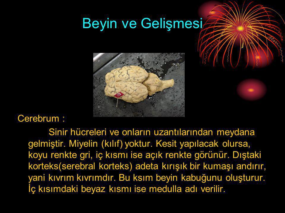 Beyin ve Gelişmesi Cerebrum :