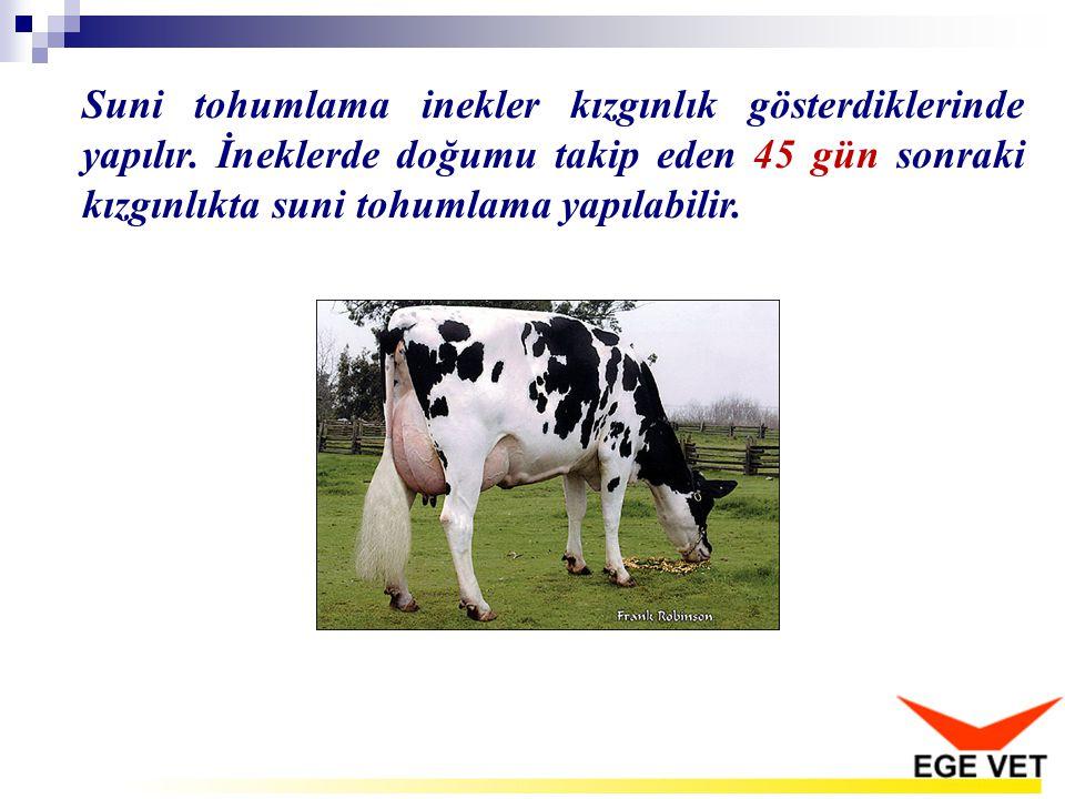 Suni tohumlama inekler kızgınlık gösterdiklerinde yapılır