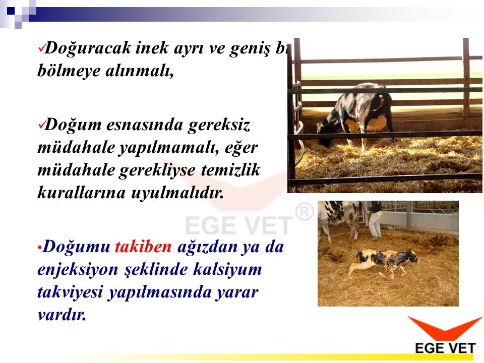 Doğuracak inek ayrı ve geniş bir bölmeye alınmalı,