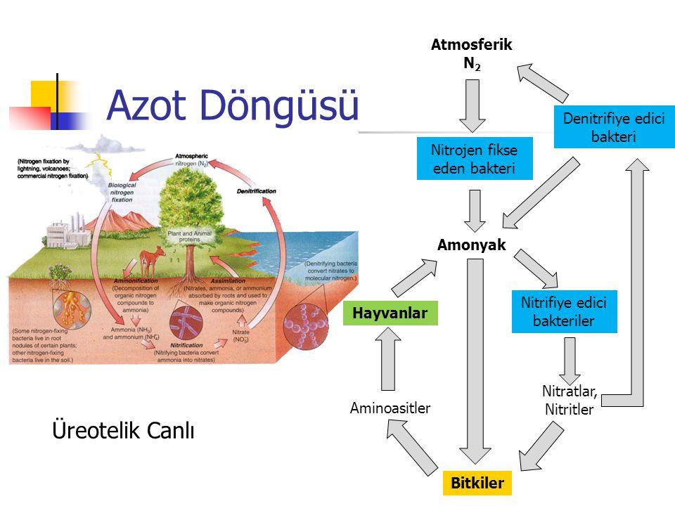 Azot Döngüsü Üreotelik Canlı Atmosferik N2 Denitrifiye edici bakteri