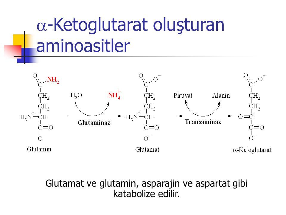 Glutamat ve glutamin, asparajin ve aspartat gibi katabolize edilir.