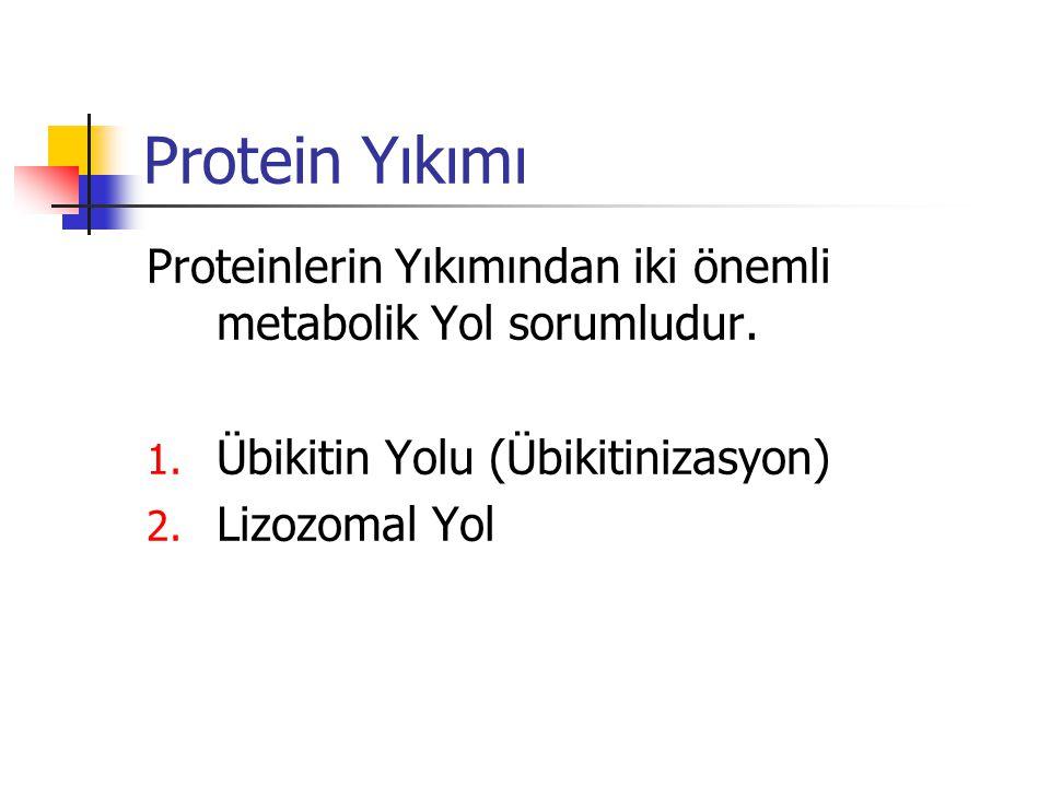 Protein Yıkımı Proteinlerin Yıkımından iki önemli metabolik Yol sorumludur. Übikitin Yolu (Übikitinizasyon)