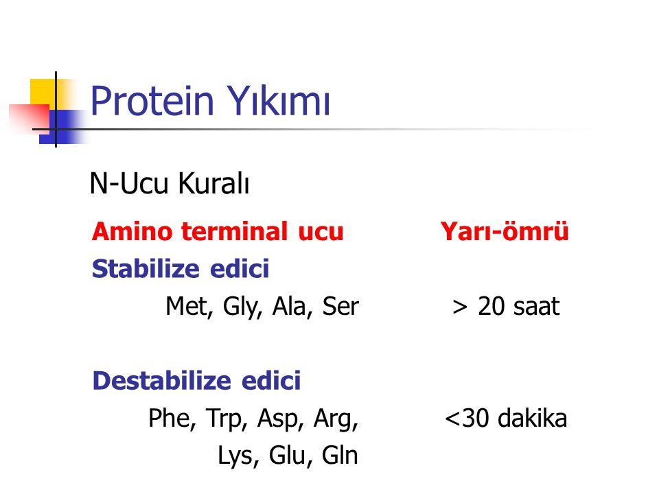 Protein Yıkımı N-Ucu Kuralı Amino terminal ucu Yarı-ömrü