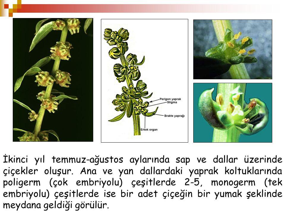 İkinci yıl temmuz-ağustos aylarında sap ve dallar üzerinde çiçekler oluşur.