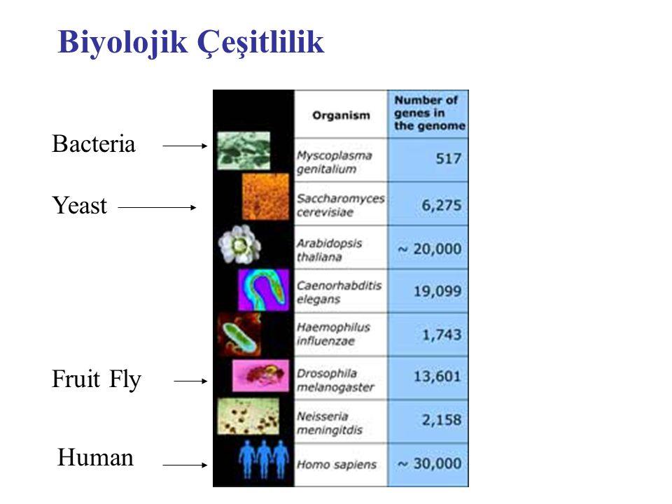 Biyolojik Çeşitlilik Bacteria Yeast Fruit Fly Human