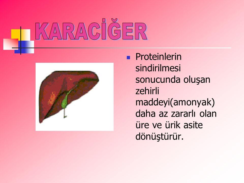 KARACİĞER Proteinlerin sindirilmesi sonucunda oluşan zehirli maddeyi(amonyak) daha az zararlı olan üre ve ürik asite dönüştürür.