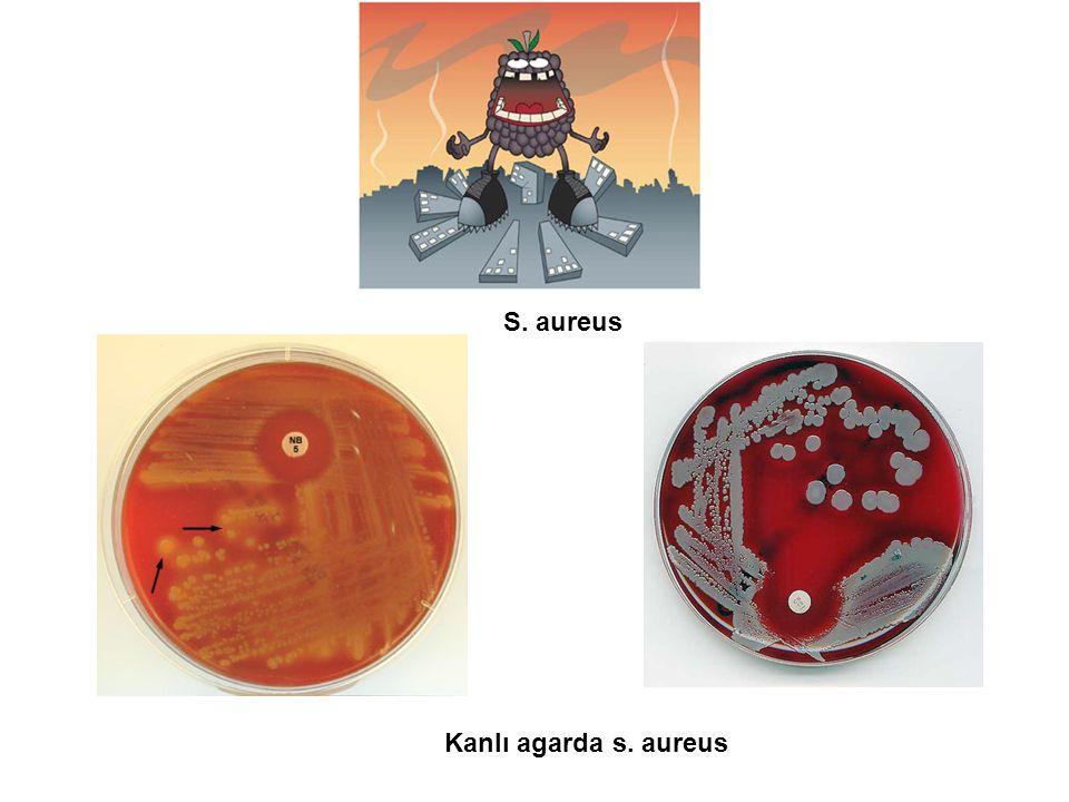 S. aureus Kanlı agarda s. aureus