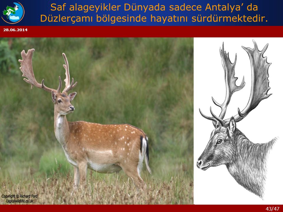 Saf alageyikler Dünyada sadece Antalya' da Düzlerçamı bölgesinde hayatını sürdürmektedir.