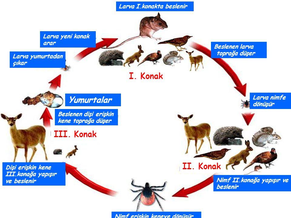 I. Konak Yumurtalar III. Konak II. Konak Larva I.konakta beslenir