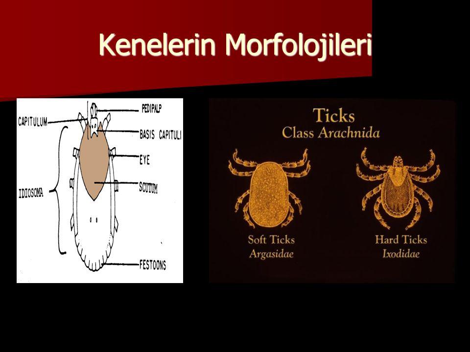 Kenelerin Morfolojileri