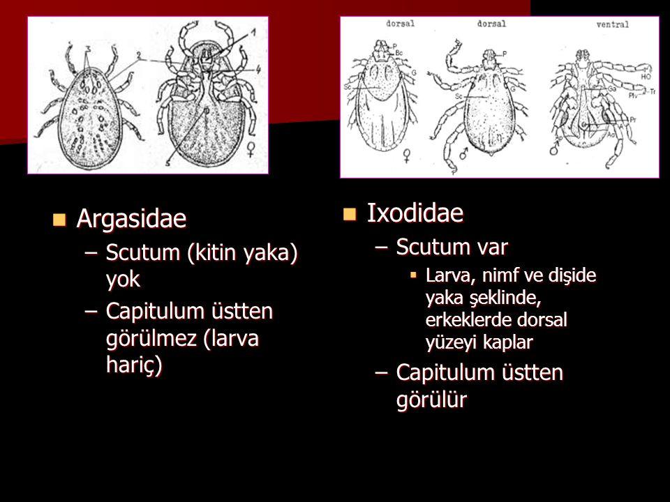 Ixodidae Argasidae Scutum var Scutum (kitin yaka) yok