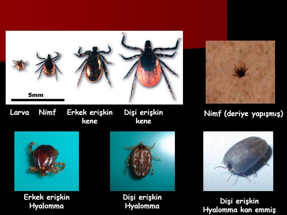 Larva Nimf. Erkek erişkin. kene. Dişi erişkin. kene. Nimf (deriye yapışmış) Erkek erişkin. Hyalomma.