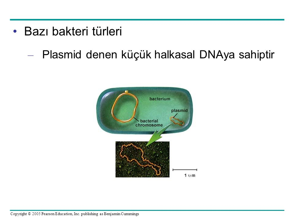 Bazı bakteri türleri Plasmid denen küçük halkasal DNAya sahiptir