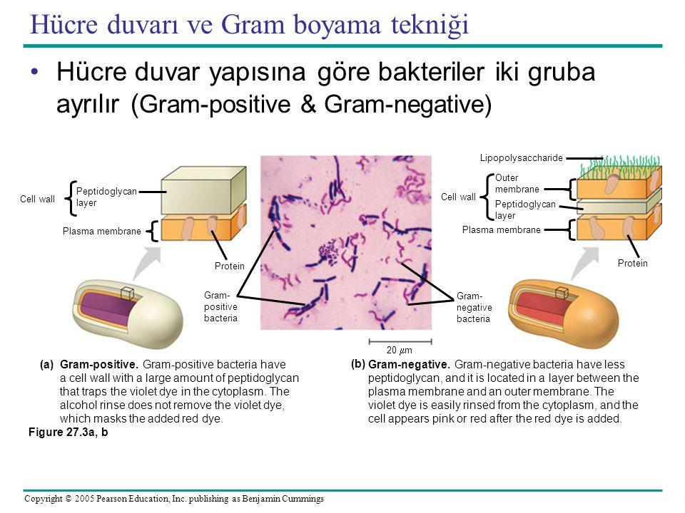 Hücre duvarı ve Gram boyama tekniği
