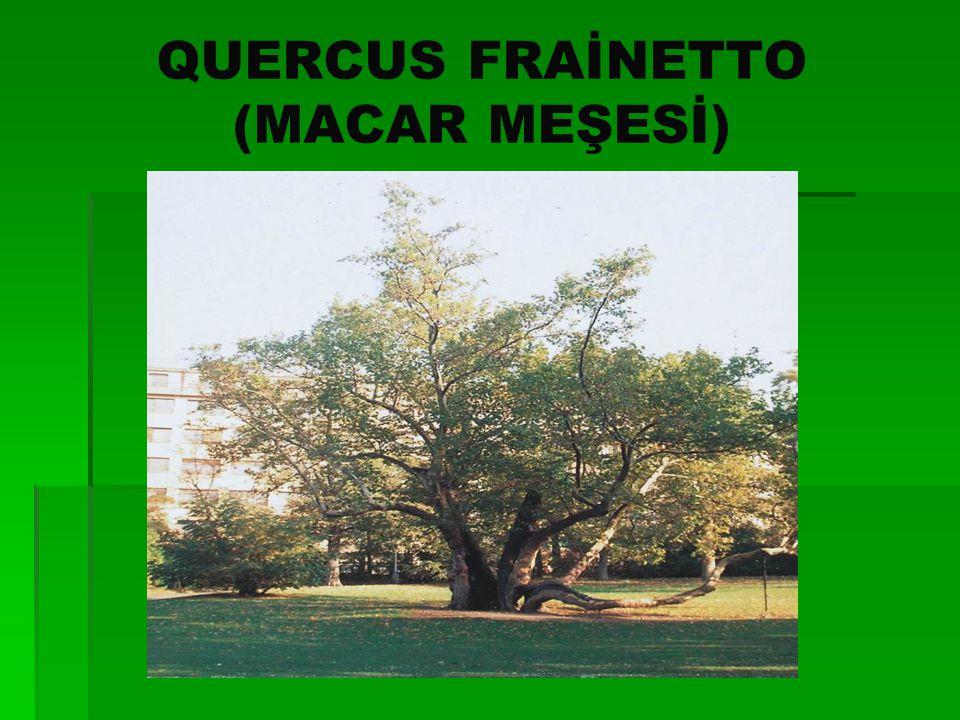QUERCUS FRAİNETTO (MACAR MEŞESİ)