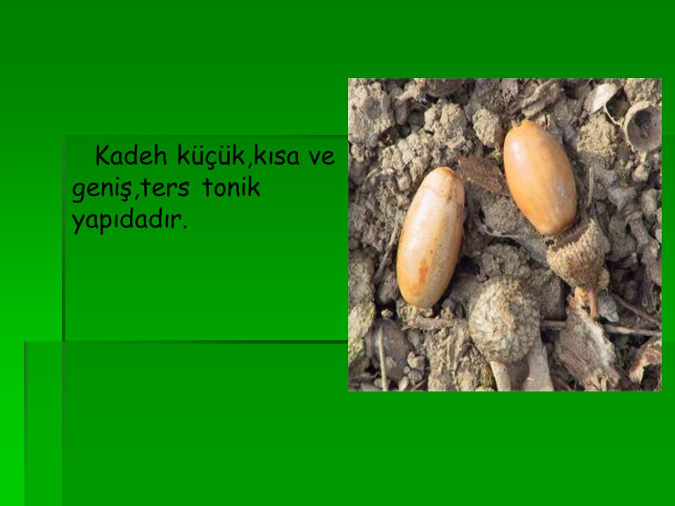 Kadeh küçük,kısa ve geniş,ters tonik yapıdadır.