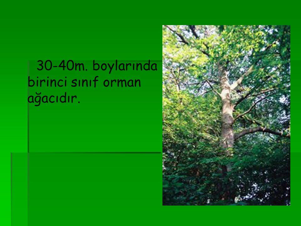 30-40m. boylarında birinci sınıf orman ağacıdır.