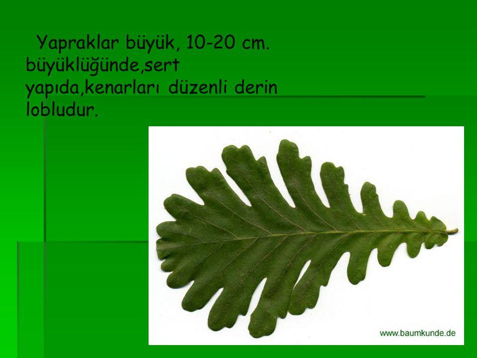 Yapraklar büyük, 10-20 cm. büyüklüğünde,sert yapıda,kenarları düzenli derin lobludur.
