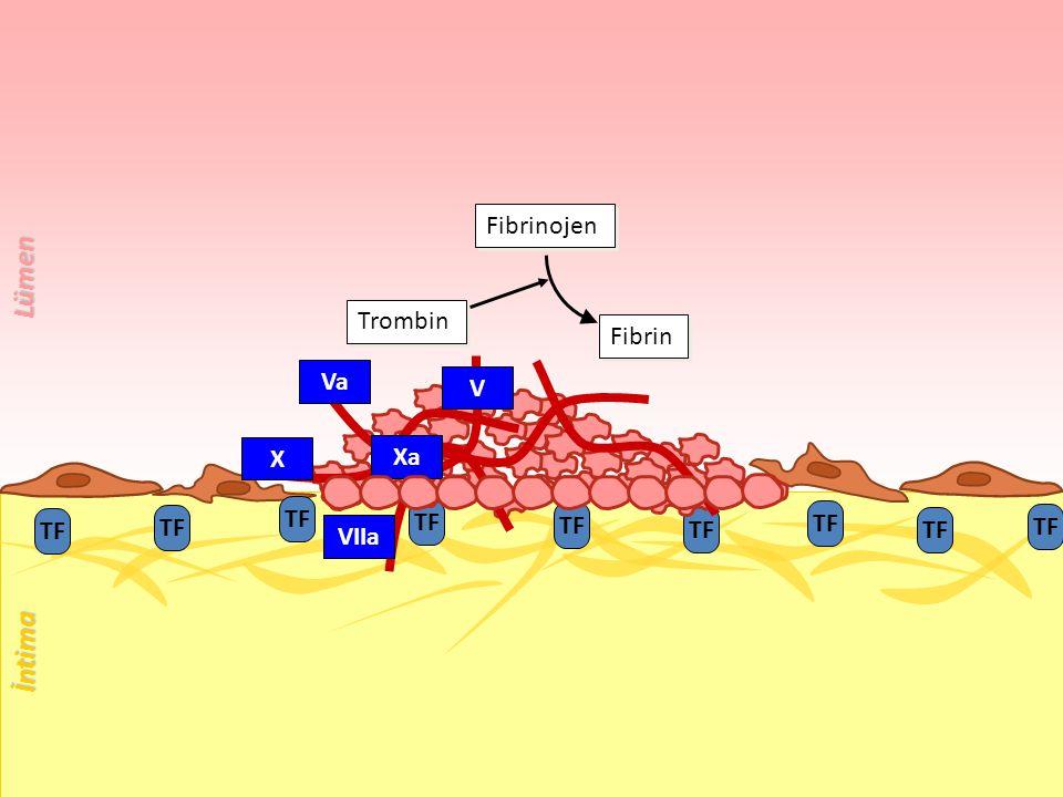 Lümen İntima Fibrinojen Trombin Fibrin Va V X Xa TF TF TF TF TF TF TF