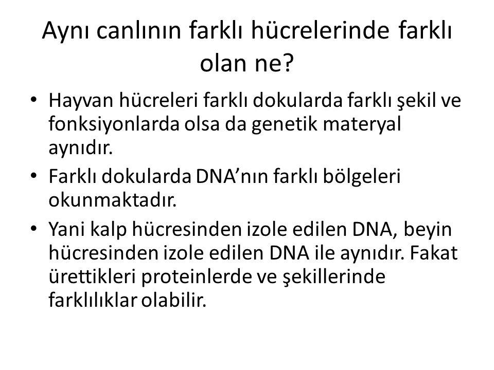 Aynı canlının farklı hücrelerinde farklı olan ne
