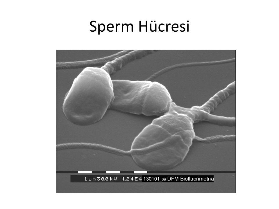 Sperm Hücresi