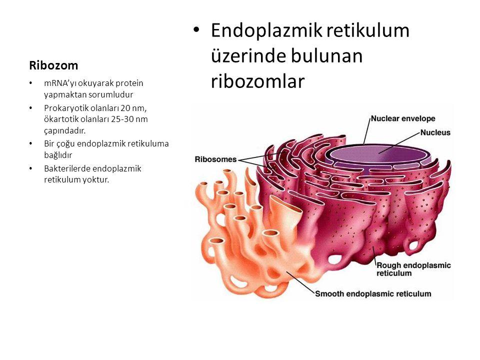 Endoplazmik retikulum üzerinde bulunan ribozomlar