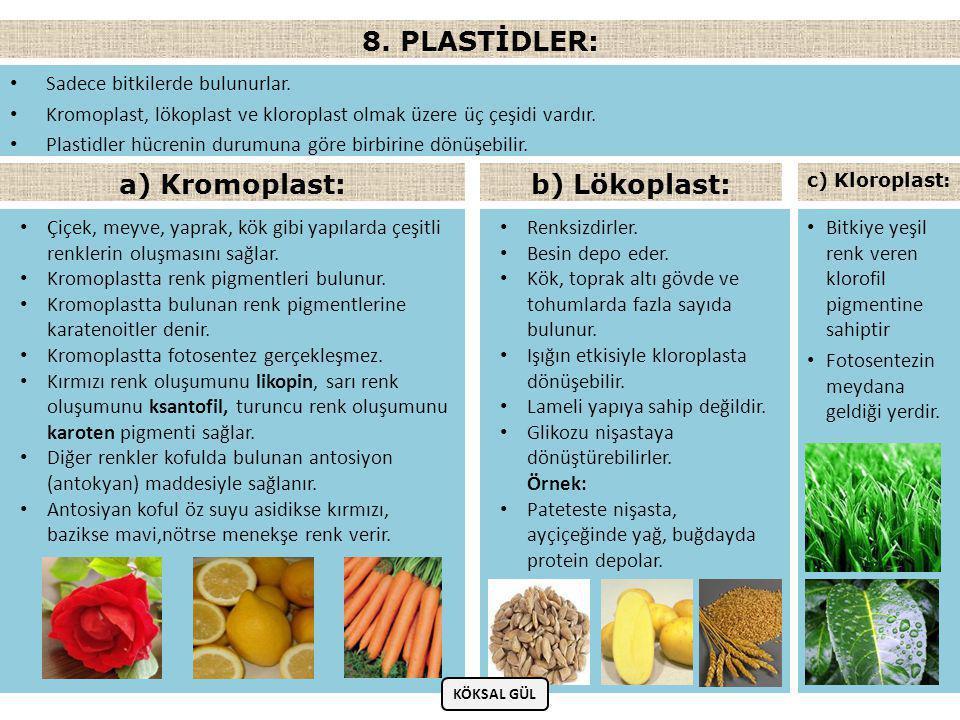 8. PLASTİDLER: a) Kromoplast: b) Lökoplast: