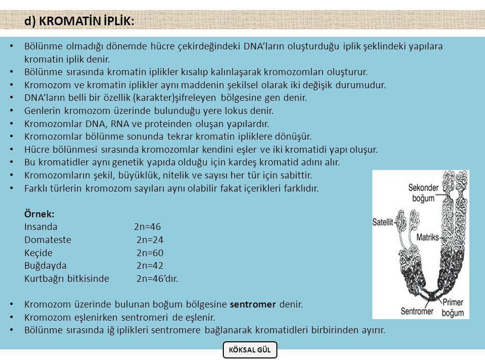 d) KROMATİN İPLİK: Bölünme olmadığı dönemde hücre çekirdeğindeki DNA'ların oluşturduğu iplik şeklindeki yapılara kromatin iplik denir.