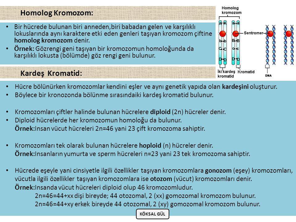 Homolog Kromozom: Kardeş Kromatid: