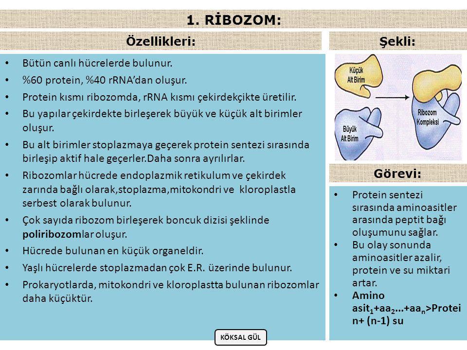 1. RİBOZOM: Özellikleri: Şekli: Bütün canlı hücrelerde bulunur.