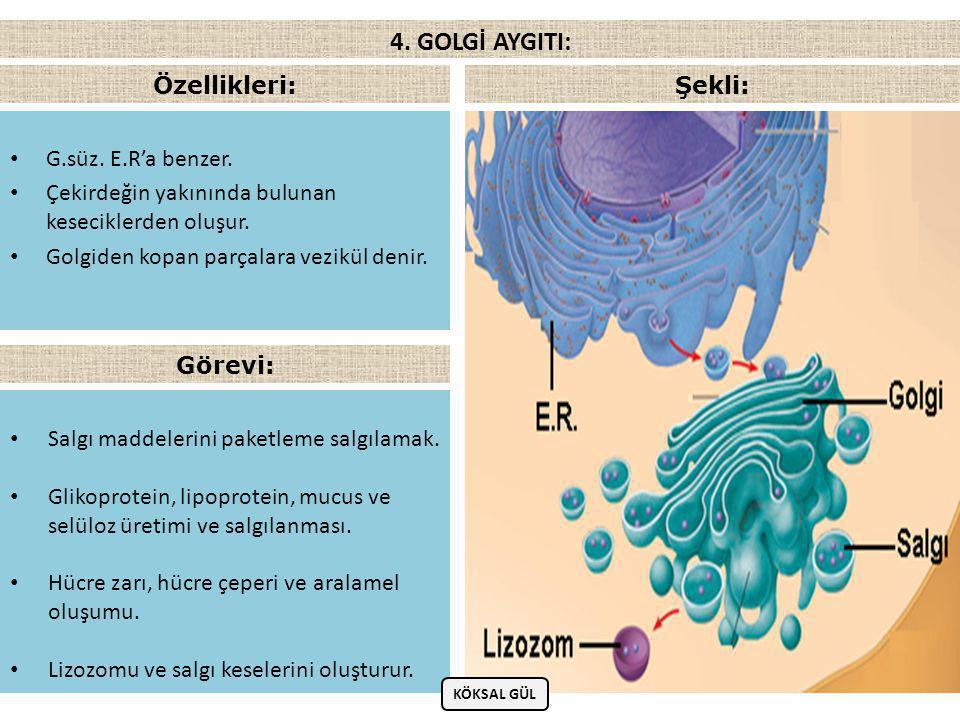 4. GOLGİ AYGITI: Özellikleri: Şekli: G.süz. E.R'a benzer.