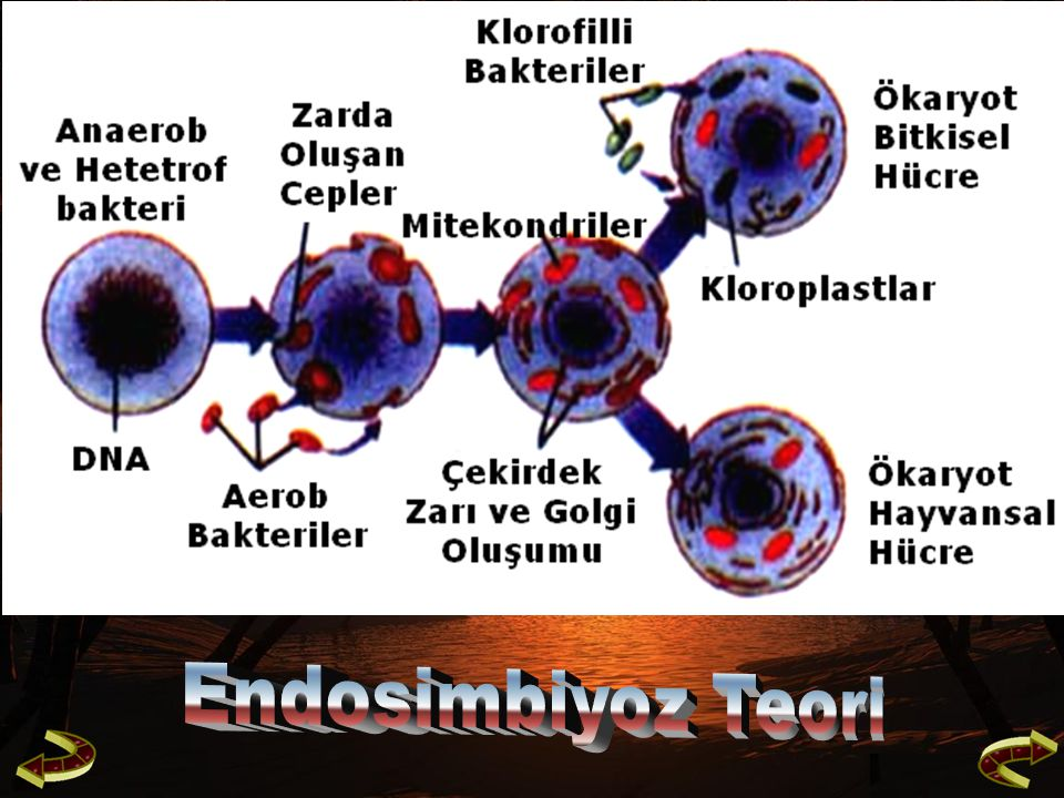 Endosimbiyoz Teori