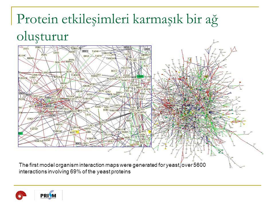 Protein etkileşimleri karmaşık bir ağ oluşturur