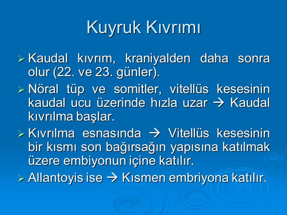 Kuyruk Kıvrımı Kaudal kıvrım, kraniyalden daha sonra olur (22. ve 23. günler).